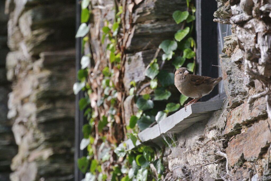 Auf einem Fensterbrett außen aus Naturstein sitzt ein kleiner Vogel. Die Hauswand besteht ebenfalls aus unregelmäßigen Natursteinen, an denen eine Kletterpflanze empor wächst.