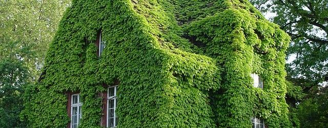 Ein Haus ist komplett mit Efeu als Fassadenbegrünung bewachsen.