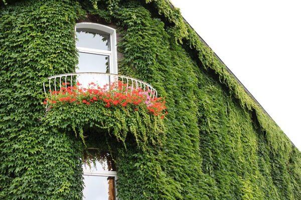 Ein Eckhaus ist von oben bis unten mit Efeu zugewachsen, nur der Balkon ist noch etwas Platz rei.