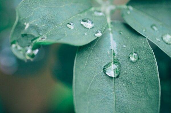 Auf einem grünen Blatt hängen mehrere Tropfen Wasser.