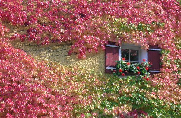 An einer Hauswand wächst roter Wein als Fassadenbegrünung um ein Fenster.